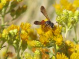 Hung is surveying the area's native bee population. The bees, like this one, thrive on native plants.